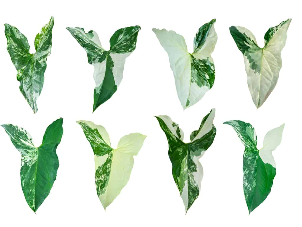 syngonium leaves