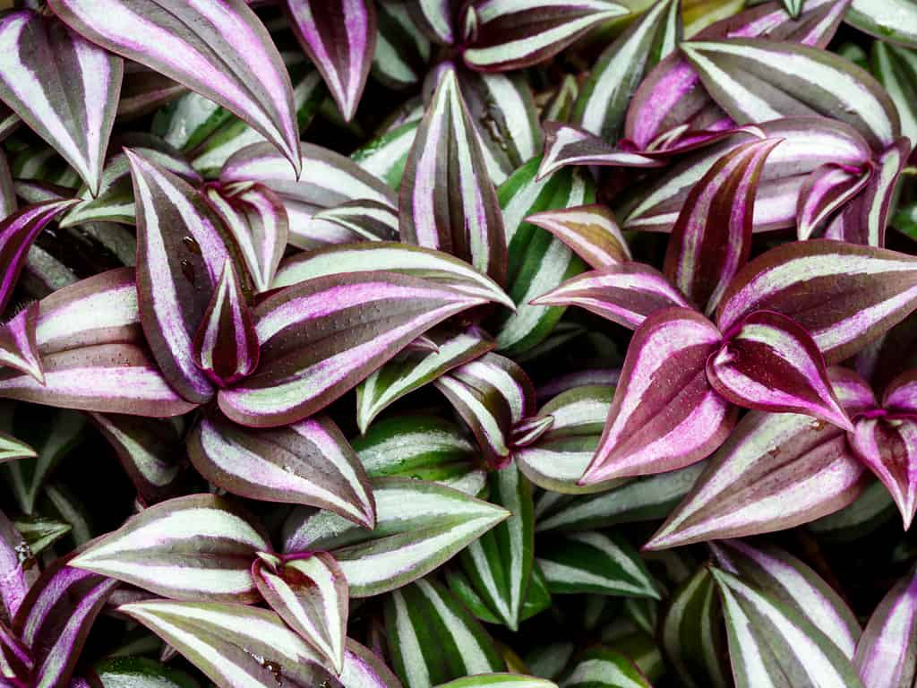 Best light conditions for the Tradescantia zebrina