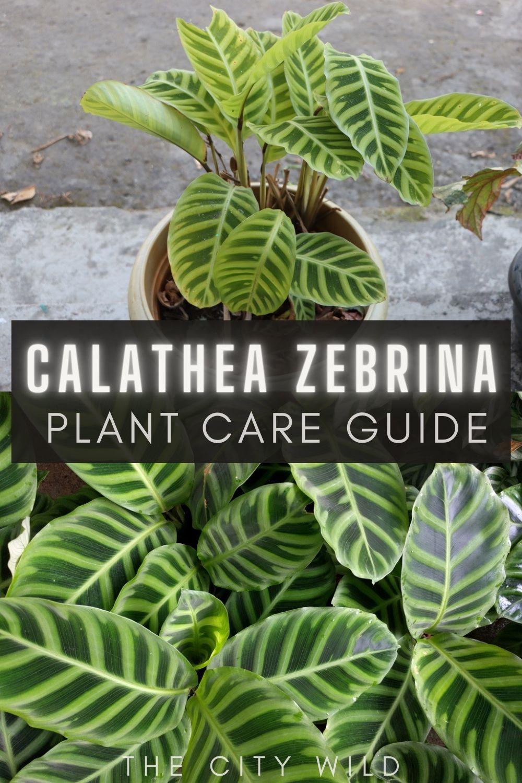 Calathea zebrina Care Guide / calathea zebra advice