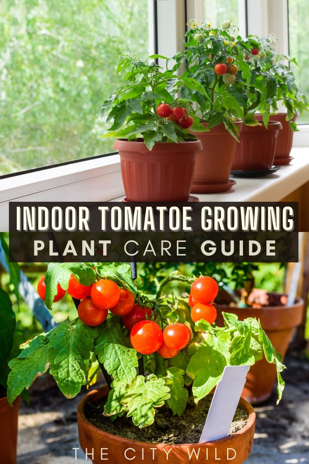 Tomato plant care guide/ Expert Tips for Growing Tomatoes Indoors