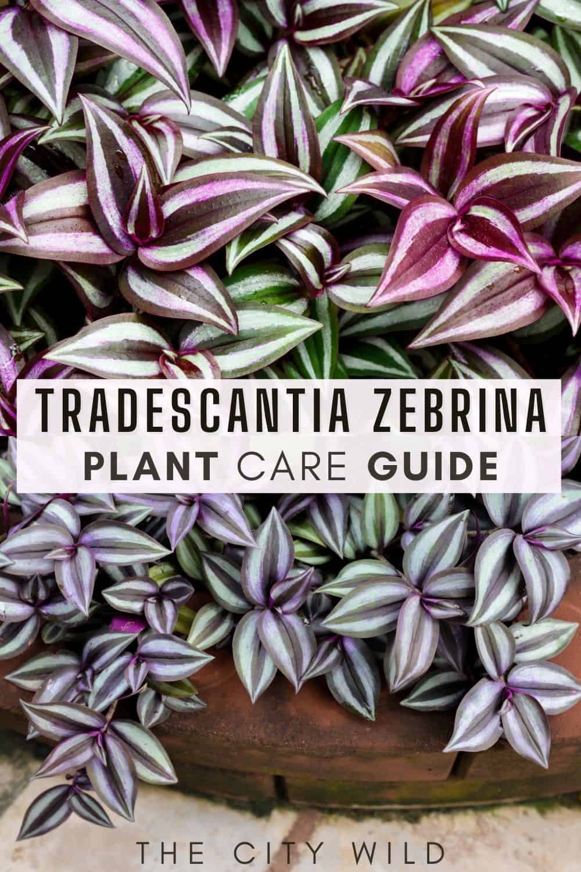 Tradescantia zebrina Care Guide (Inchplant/ Spiderwort)