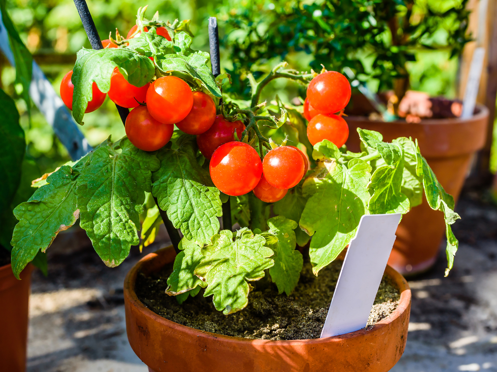 Expert Tips for Growing Tomatoes Indoors