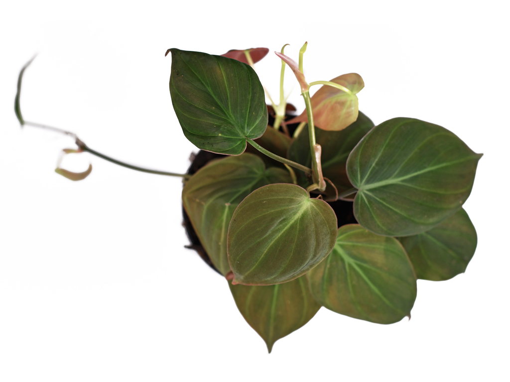 Philodendron micans Care Guide (Velvet Leaf Philodendron)