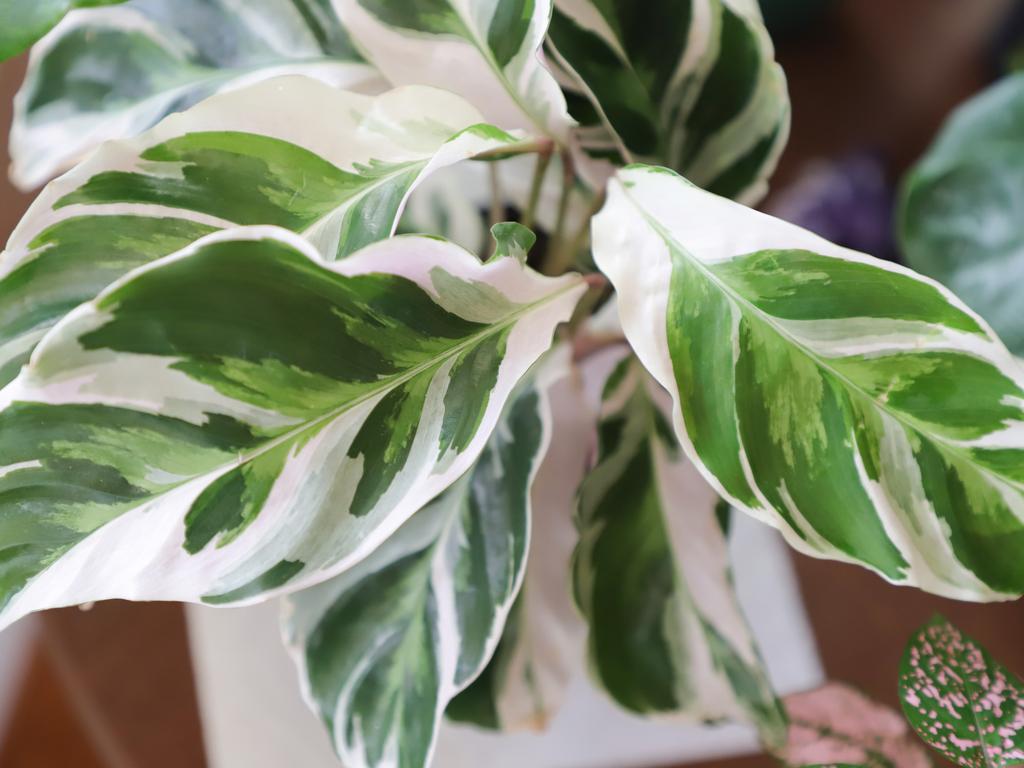 Calathea White Fusion Care Guide (Calathea lietzei)