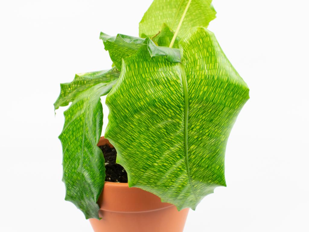 Calathea musaica 'Network' Care Guide (Goeppertia kegeljanii)